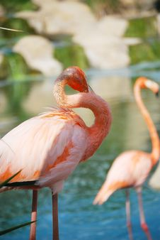 Free Portrait Of A Pink Flamingo. Royalty Free Stock Photos - 21338878