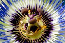 Free Blue Passiflora Royalty Free Stock Image - 21339346
