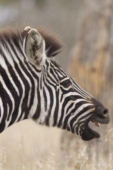 Free Zebra Fawn Royalty Free Stock Image - 21339596