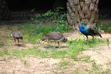 Free Peacocks Stock Photography - 21342742
