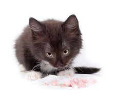 Free Brown Kitten Eating On White Royalty Free Stock Photo - 21343585
