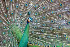 Free Beautiful Peacock Royalty Free Stock Photo - 21344405
