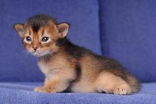 Free Little Somali Kitten Portrait On Blue Sofa Royalty Free Stock Photos - 21346948
