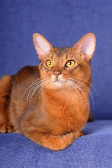 Red Somali Cat Lying On Sofa Royalty Free Stock Image