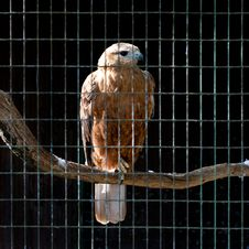 Free Hawk In Zoo Stock Photos - 21354003