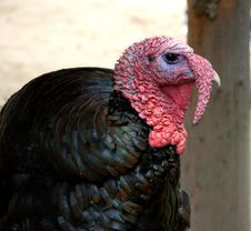 Free Turkey Farm Stock Images - 21354464
