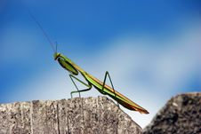 Free Praying Mantis Royalty Free Stock Photos - 21357808