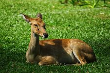 Free Sitting Female Deer Stock Photography - 21358362