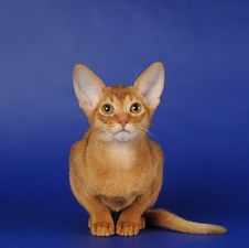 Red Abyssinian Kitten Sits On Blue Background Royalty Free Stock Photo