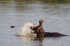 Free Hippo (Hippopotamus Amphibius) Royalty Free Stock Photo - 21359925