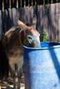 Free Donkey. Stock Images - 21366104
