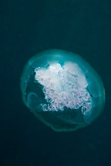 Free Jellyfish Stock Images - 21360594