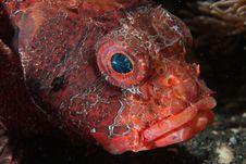 Free Upset Lionfish Stock Photo - 21360740