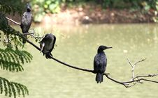 Free Cormorants Royalty Free Stock Photos - 21360978