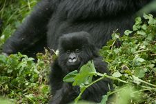 Free Peering Gorilla Baby Royalty Free Stock Photo - 21362715