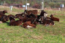 Free Sheeps Royalty Free Stock Photo - 21362825