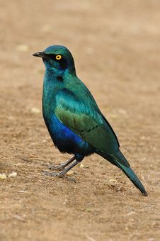 Free Greater Blue-Eared Starling Royalty Free Stock Photo - 21363785
