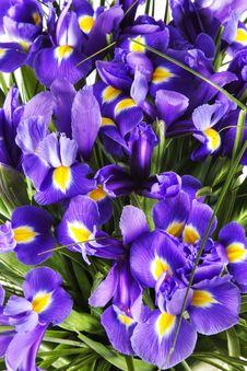 Free Bouquet Of Irises Royalty Free Stock Image - 21363786