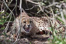 Free Cheetah Aggression Royalty Free Stock Photo - 21363905