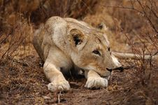 Free Lioness (Panthera Leo) Stock Images - 21365394
