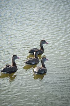 Free Four Whistling-ducks Stock Images - 21366304