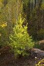 Free Pine Tree Stock Photo - 21378900