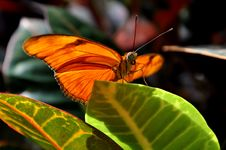 Free Orange Julia Butterfly,Dryas Iulia Stock Image - 21370311