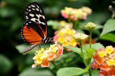 Free A Feeding Helicon Butterfly Stock Images - 21370344