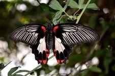 Pretty Female Scarlet Mormon Butterfly Stock Photography