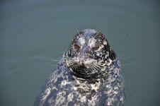 Free Harbor Seal Stock Photos - 21370363