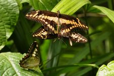 Free Mating King Swallowtail Butterflies Stock Image - 21370381