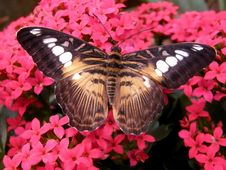 Free The Brown Clipper Butterfly Royalty Free Stock Images - 21370389