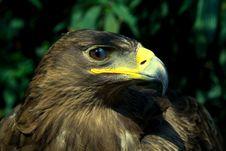 Free Golden Eagle Stock Photo - 21371220