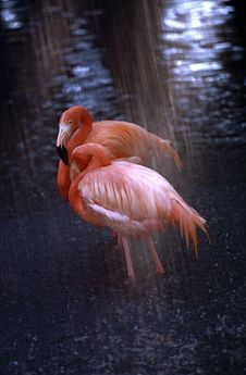 Free Flamingos In The Rain Stock Photos - 21371223
