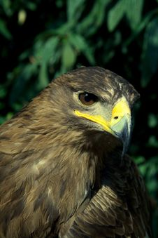 Free Golden Eagle Royalty Free Stock Photo - 21371315