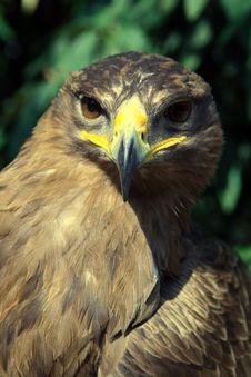 Free Golden Eagle Royalty Free Stock Image - 21371376