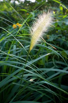 Free Bristle Grass Royalty Free Stock Photography - 21371487