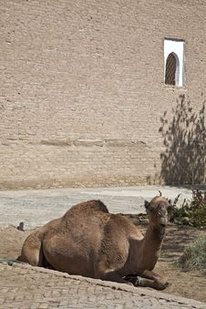 Free Uzbekistan, The Camel Royalty Free Stock Images - 21374229