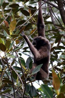 Free Gibbon Royalty Free Stock Photos - 21374698