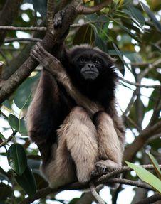Free Gibbon Royalty Free Stock Photo - 21374715