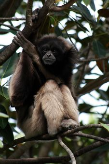 Free Gibbon Royalty Free Stock Photography - 21374767