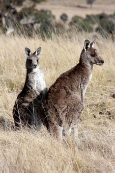 Free Grey Kangaroo S Royalty Free Stock Image - 21374876