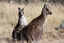 Free Grey Kangaroo S Stock Images - 21374904