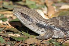 Free Australian Blue Tongue Lizard Stock Photo - 21376330