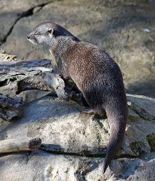 Free Wet Otter Stock Image - 21376771