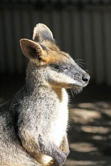 Free Rock Wallaby Stock Photography - 21376832