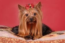 Pretty Yorkshire Terrier Lying On The Pillow Royalty Free Stock Image
