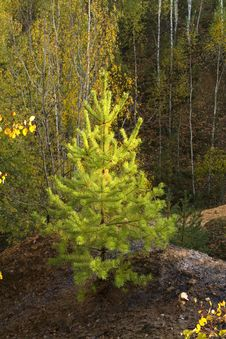 Free Pine Tree Stock Photo - 21378900