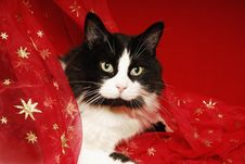 Free Tuxedo Cat Snuggled In Red Starred Materisl Royalty Free Stock Image - 21379826