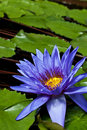 Free Nymphaea Director George T Moore Royalty Free Stock Images - 21382799